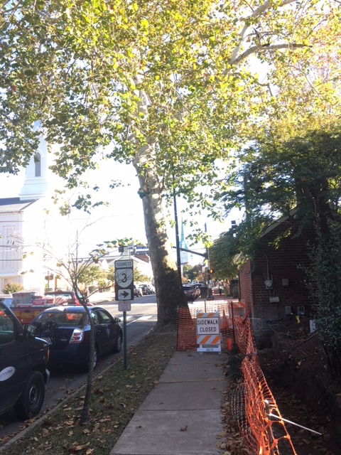 Sycamore tree on corner of Princess Anne and Amelia Streets to be removed