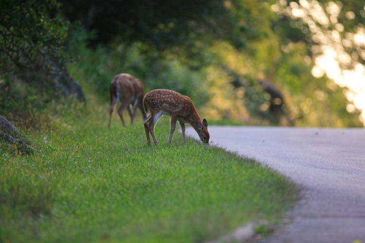 Oh, Deer! Autumn Months mean Greater Chance of Animal Collisions