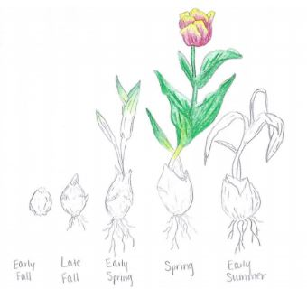 Fall Planting of Spring Bulbs